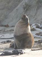Seelöwen - ein riesen Koloss, bis zu 500 kg schwer