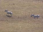 Zebras in den Staaten?? Haustiere eines Milliardären gemäs Google